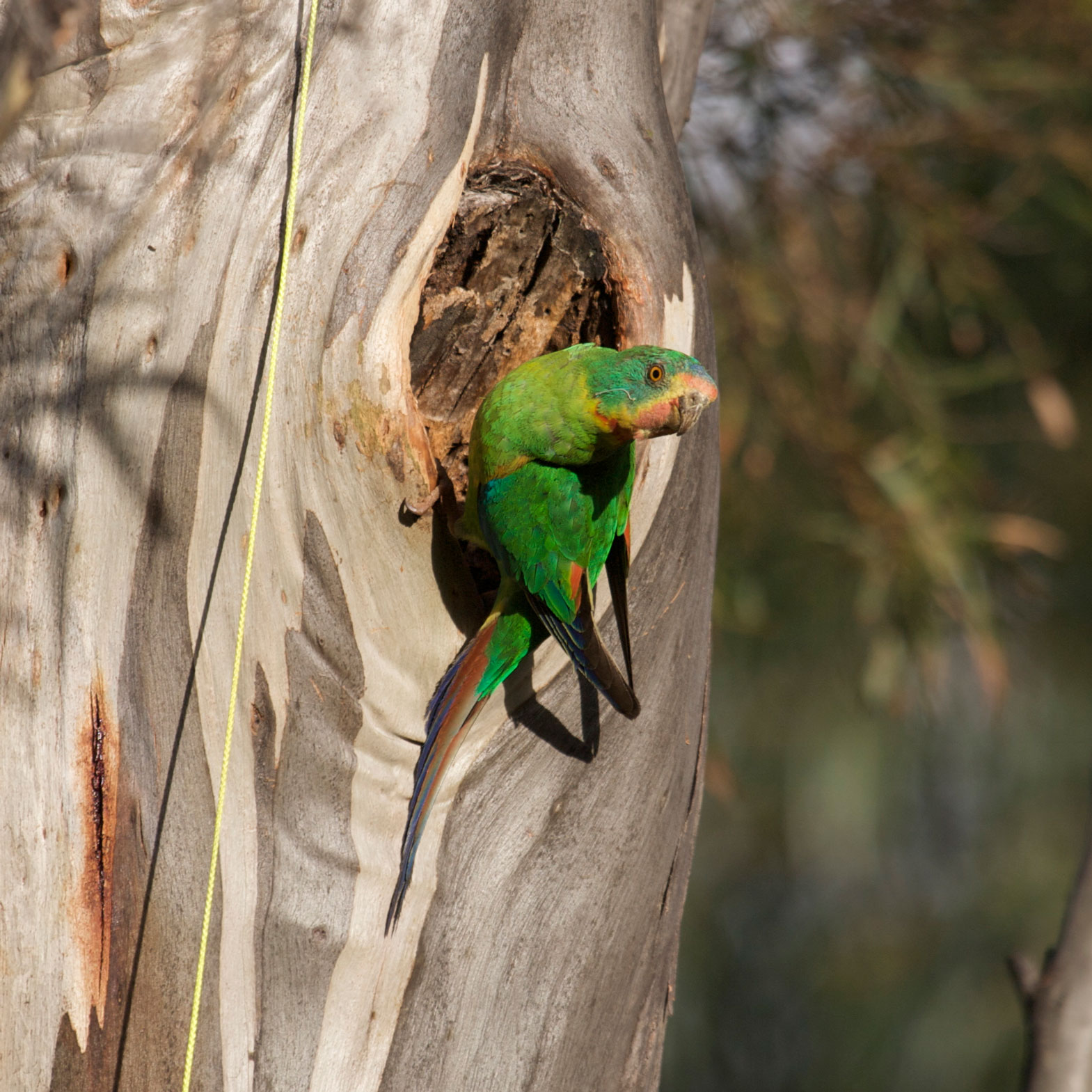 swift-parrot-adult-male-at-nest-hole.jpg