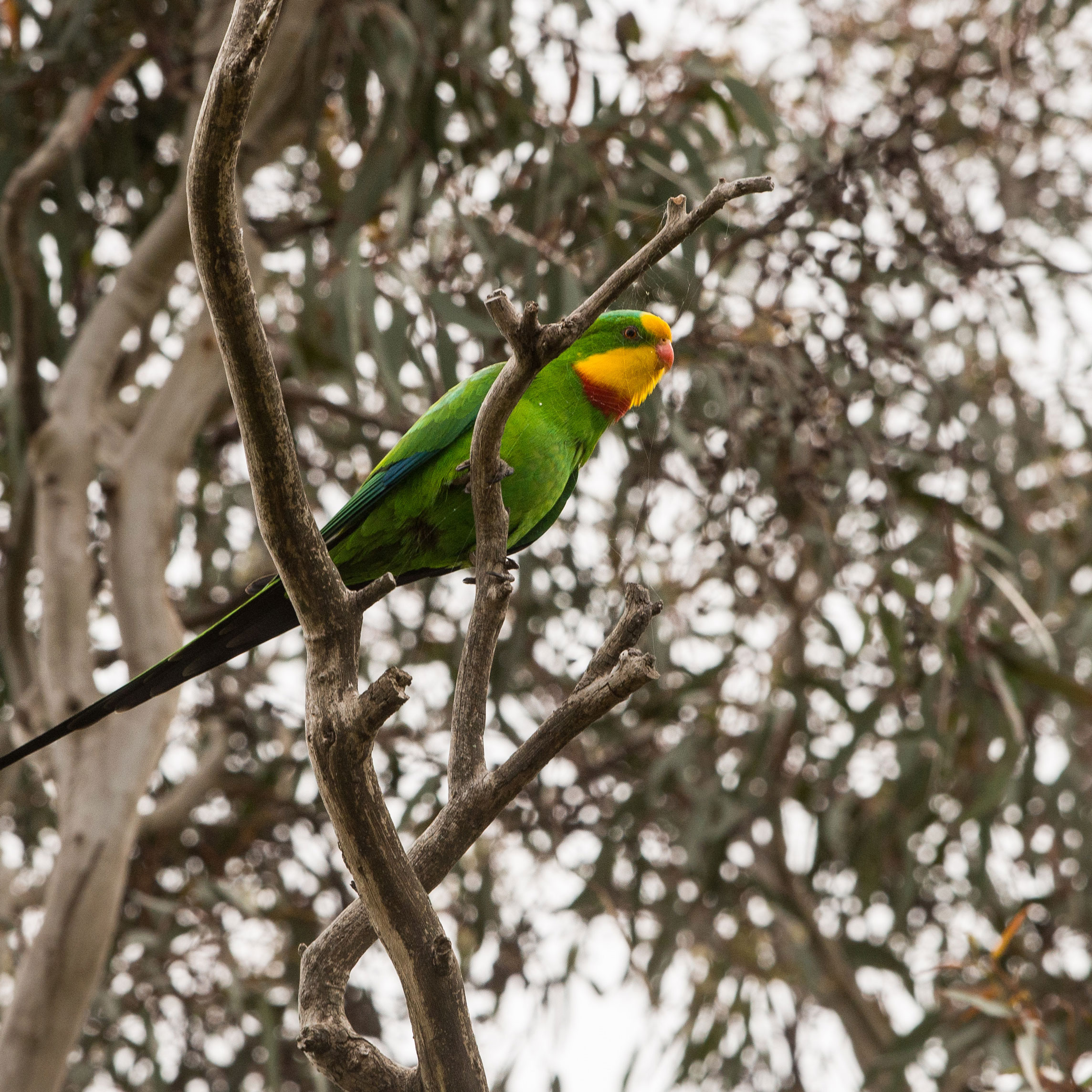 Superb-Parrot-0883.jpg