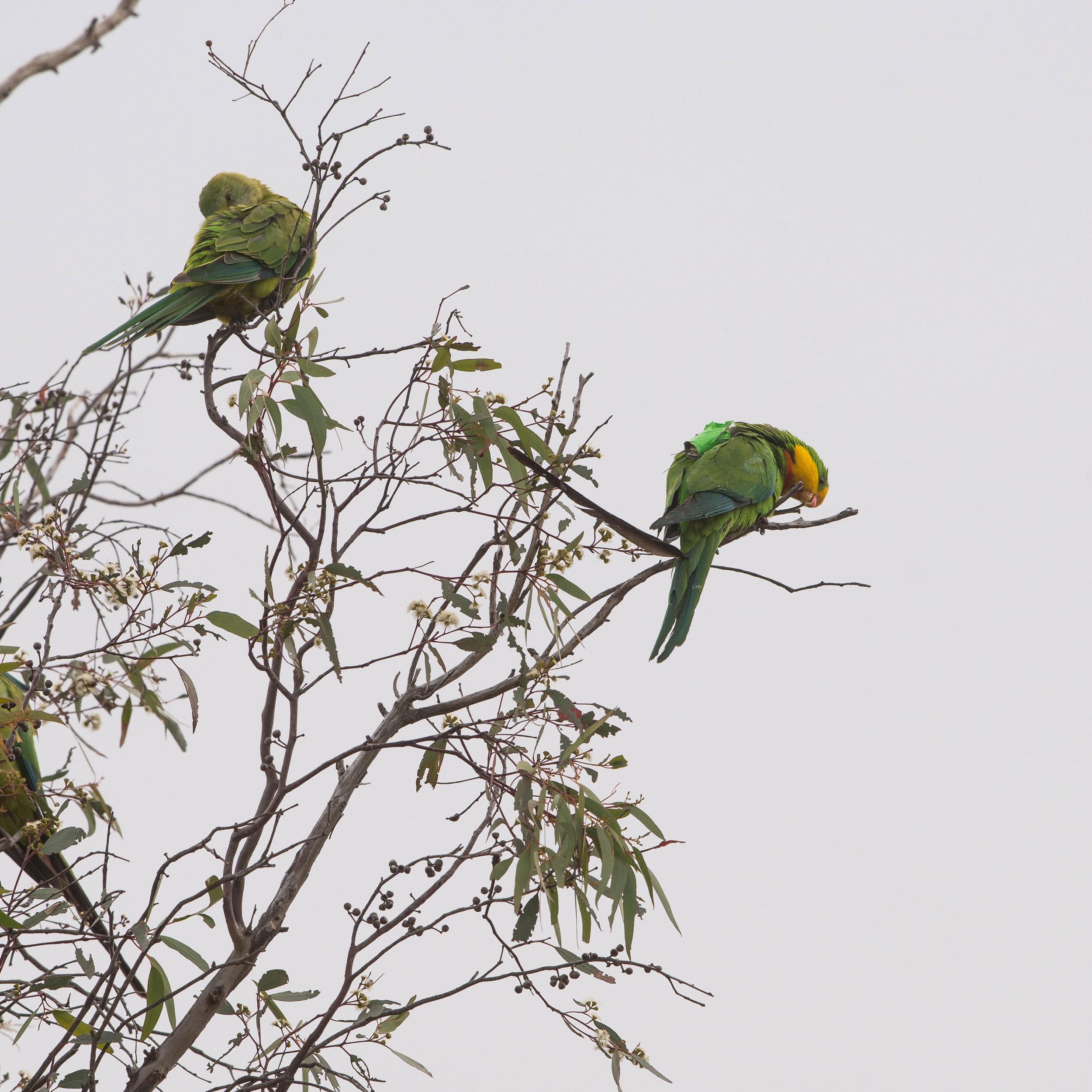 Superb-Parrot-6185.jpg
