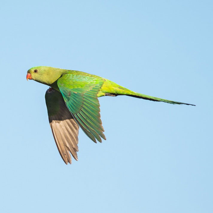 Superb-Parrot_D-Stowe-7721.jpg