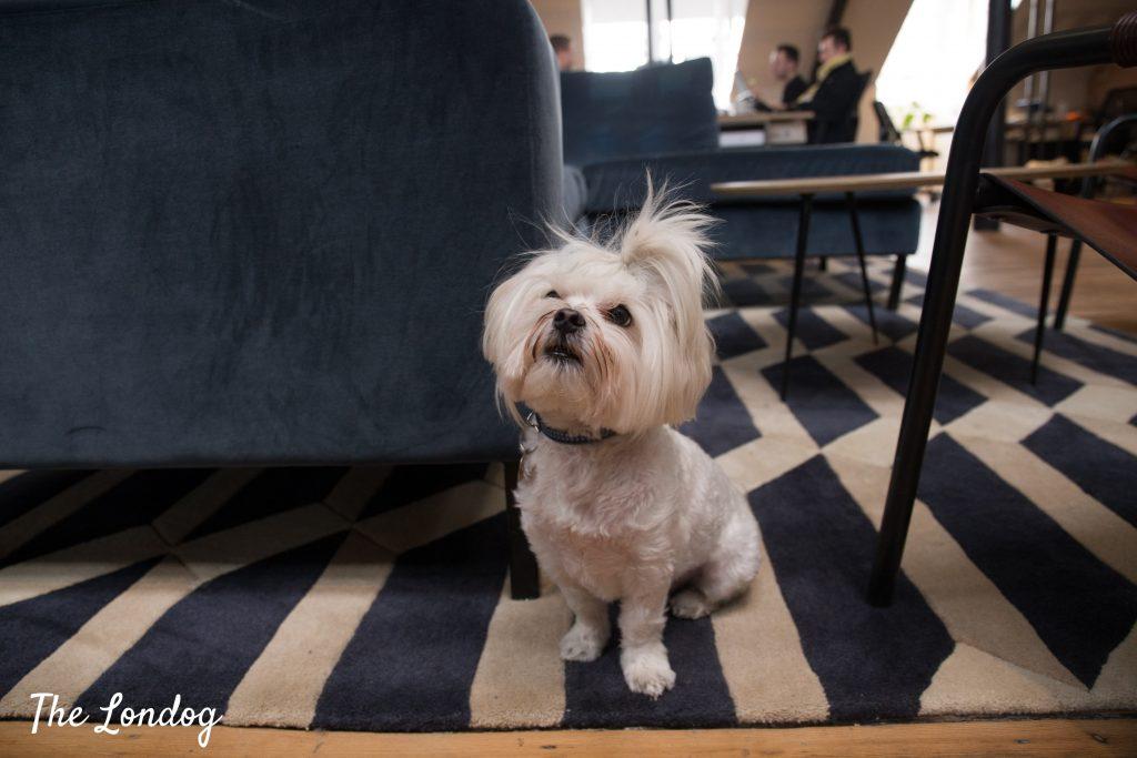 Milo-office-dog-2-1024x683.jpg