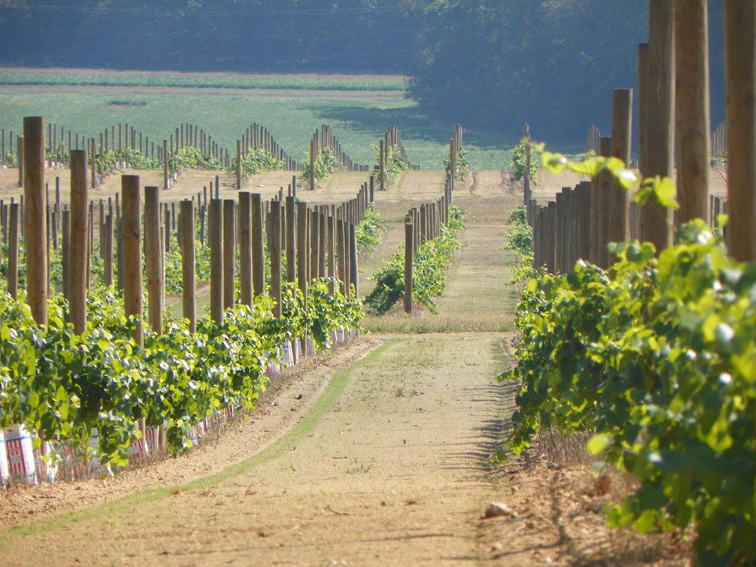Field of grape vines.JPG
