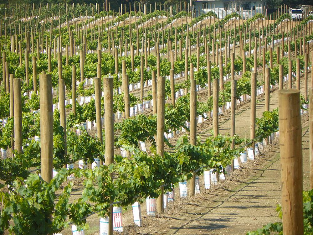 Grape vines planted in rows.JPG