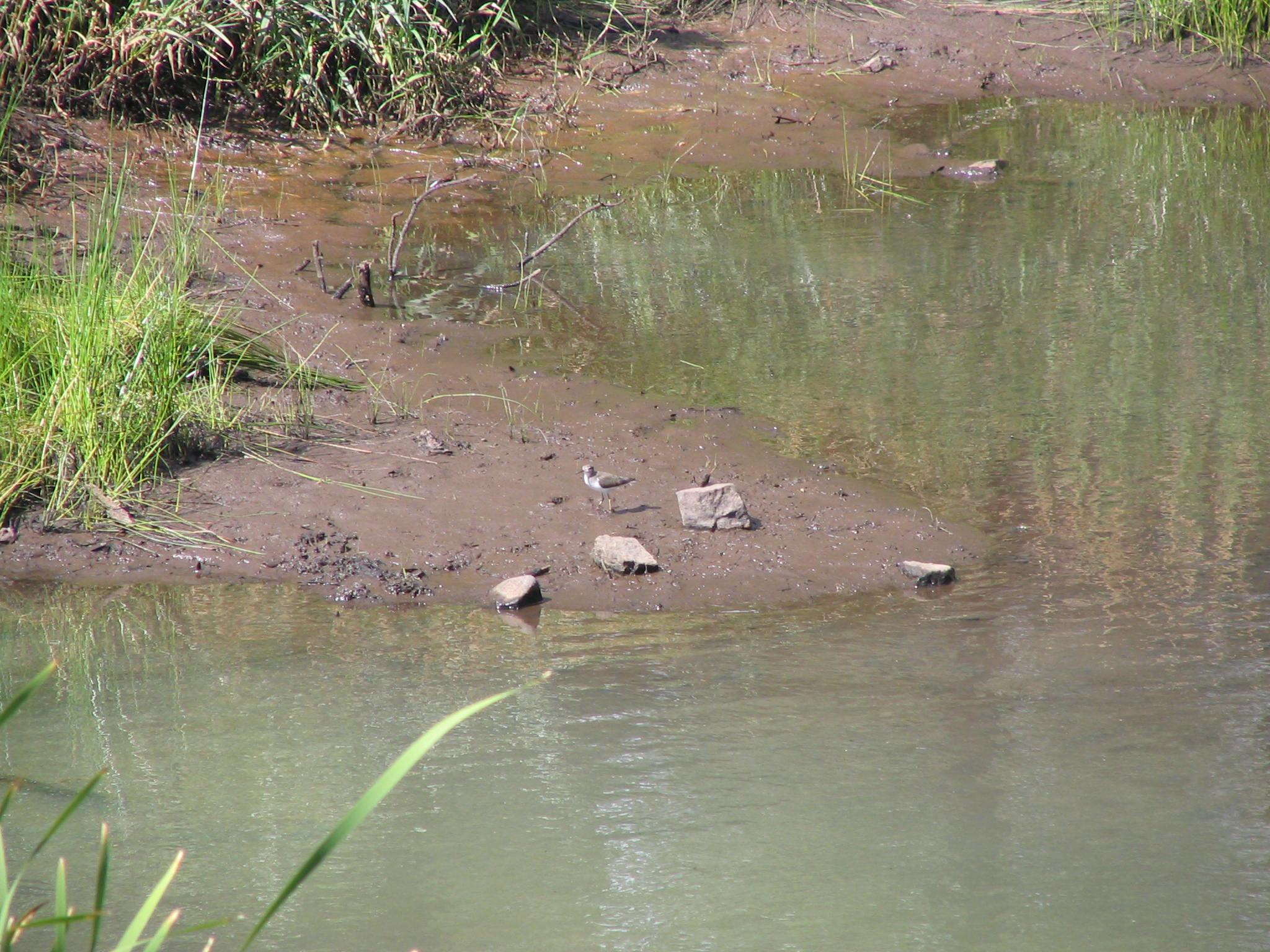 Bird at Pond