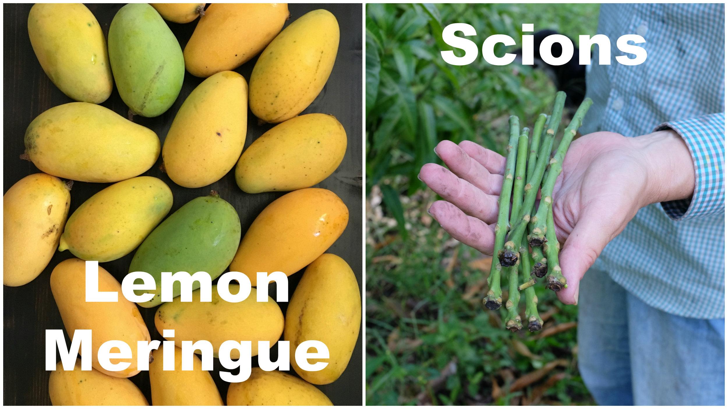 Lemon Meringue scions.jpg