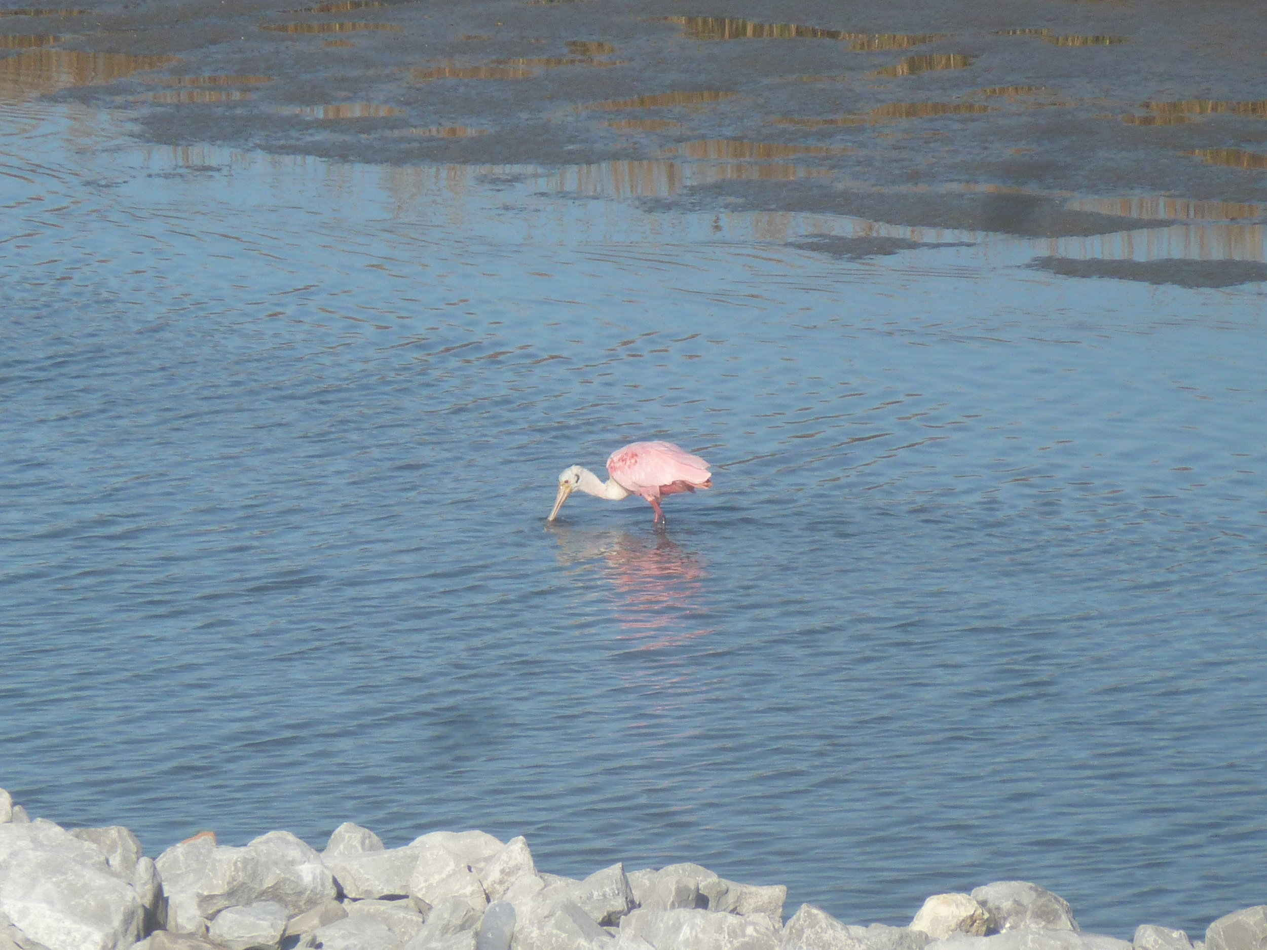 Spoonbill in port