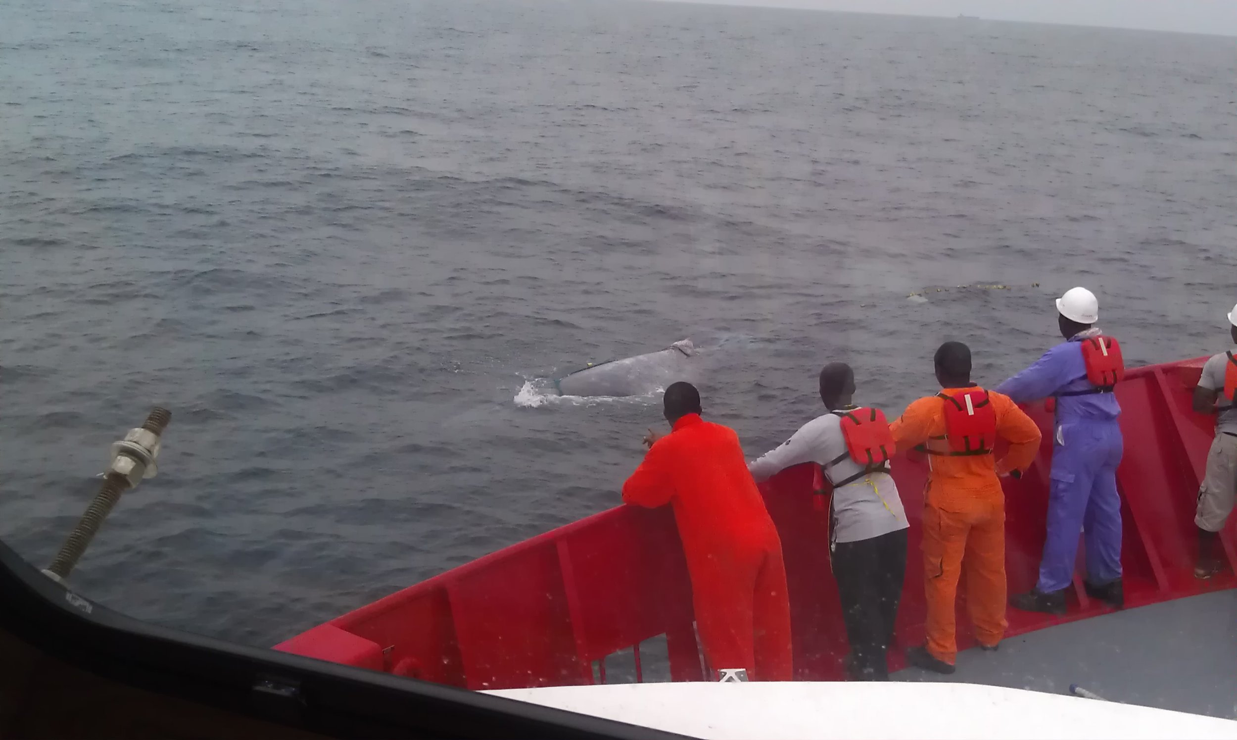 Rescuing a young whale caught in a fish net.jpg