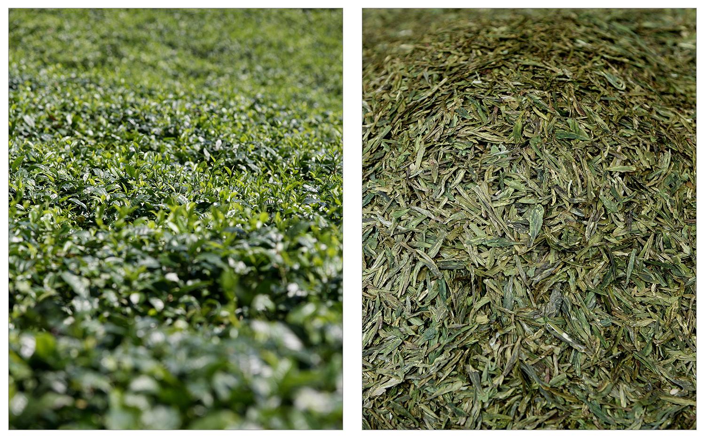Tea Field - Huqiu, Fujian Province    info •  Longjing - Dragon Well Green Tea  info