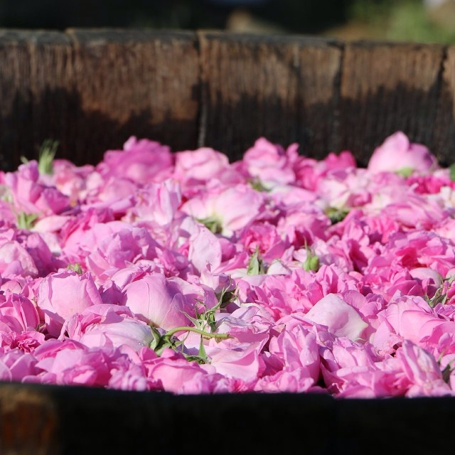 Mmmmmmm...Bulgarian Rose Essential Oil! Delicate, aromatic, powerful Queen of Flowers. And she shares her potency with us! This is a MUST have ingredient in your skin care ritual...and Maui Blessed Organics is proud to offer it to you in our Eternal Rose Exotic Oil. To read more check out... https://www.mauiblessedorganics.com/news/2017/3/30/bulgarian-rose-why-your-skin-needs-it.  #serum #esthetician #organic #botanical #rose #facial #maui #mauiblessedorganics #beautyblogger #naturalgirl #naturalbeauty #skincare
