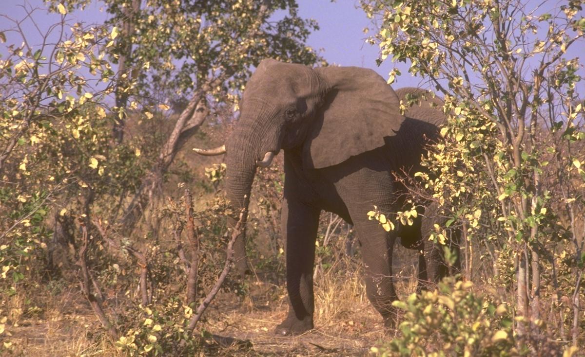 elephant3firstforhunters040914.jpg