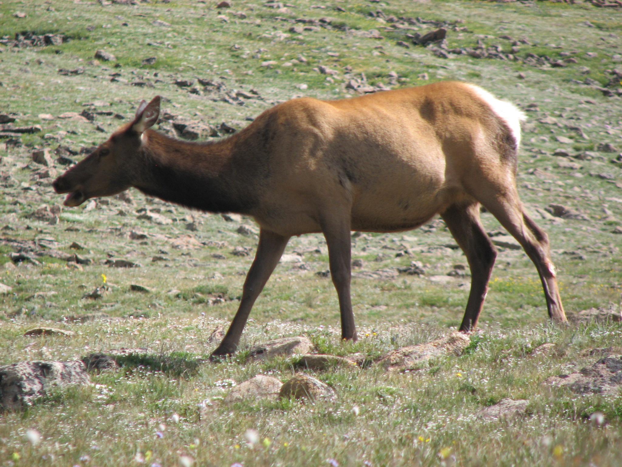 Cervus_canadensis_(North_American_elk)_9_(8290359165).jpg