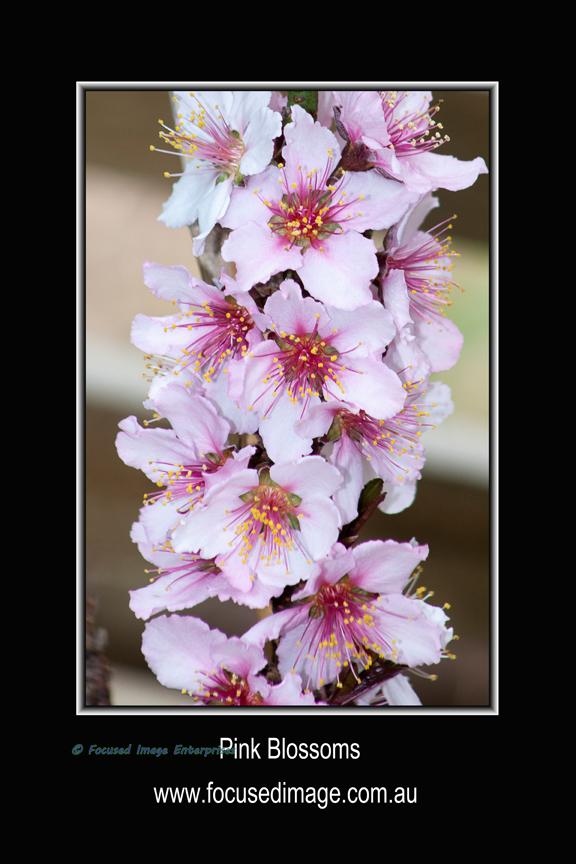 Pink Blossoms.jpg