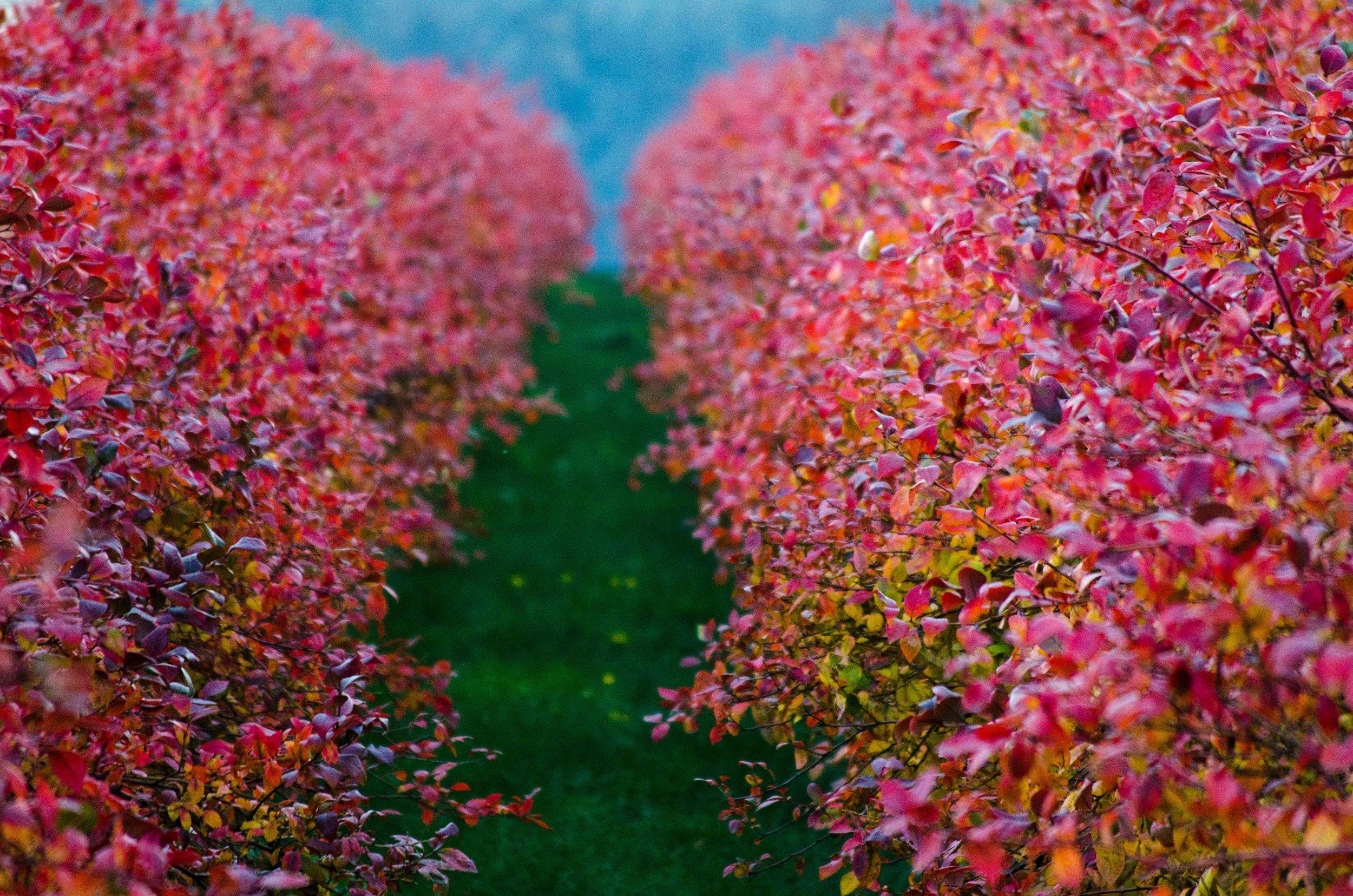 berrybushforweb.jpg