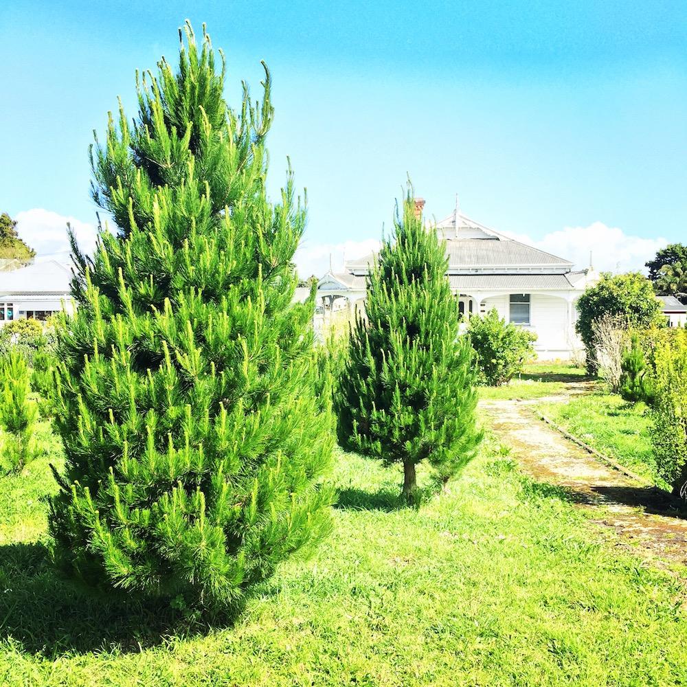Christmas-trees-Auckland.JPG