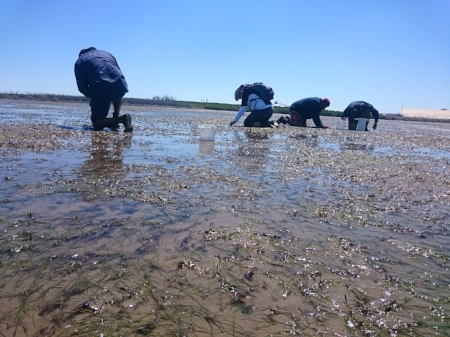 Collecting seagrass flowers in Gladstone Harbour