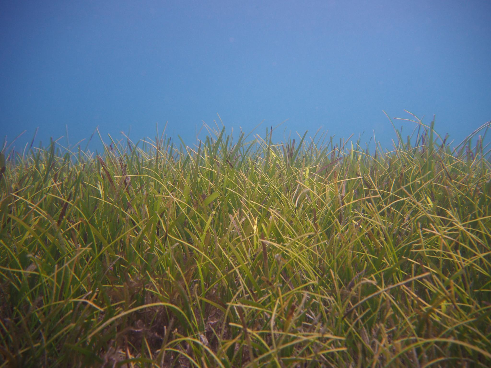 Green Island seagrass