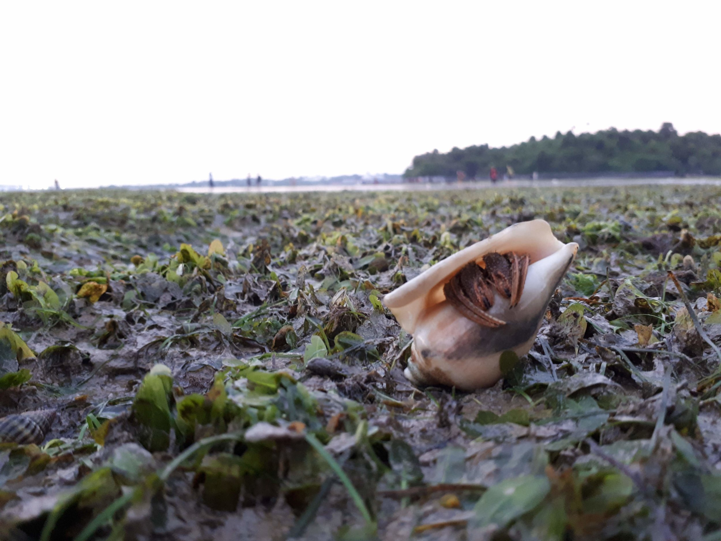 A hermit crab hiding in the seagrass