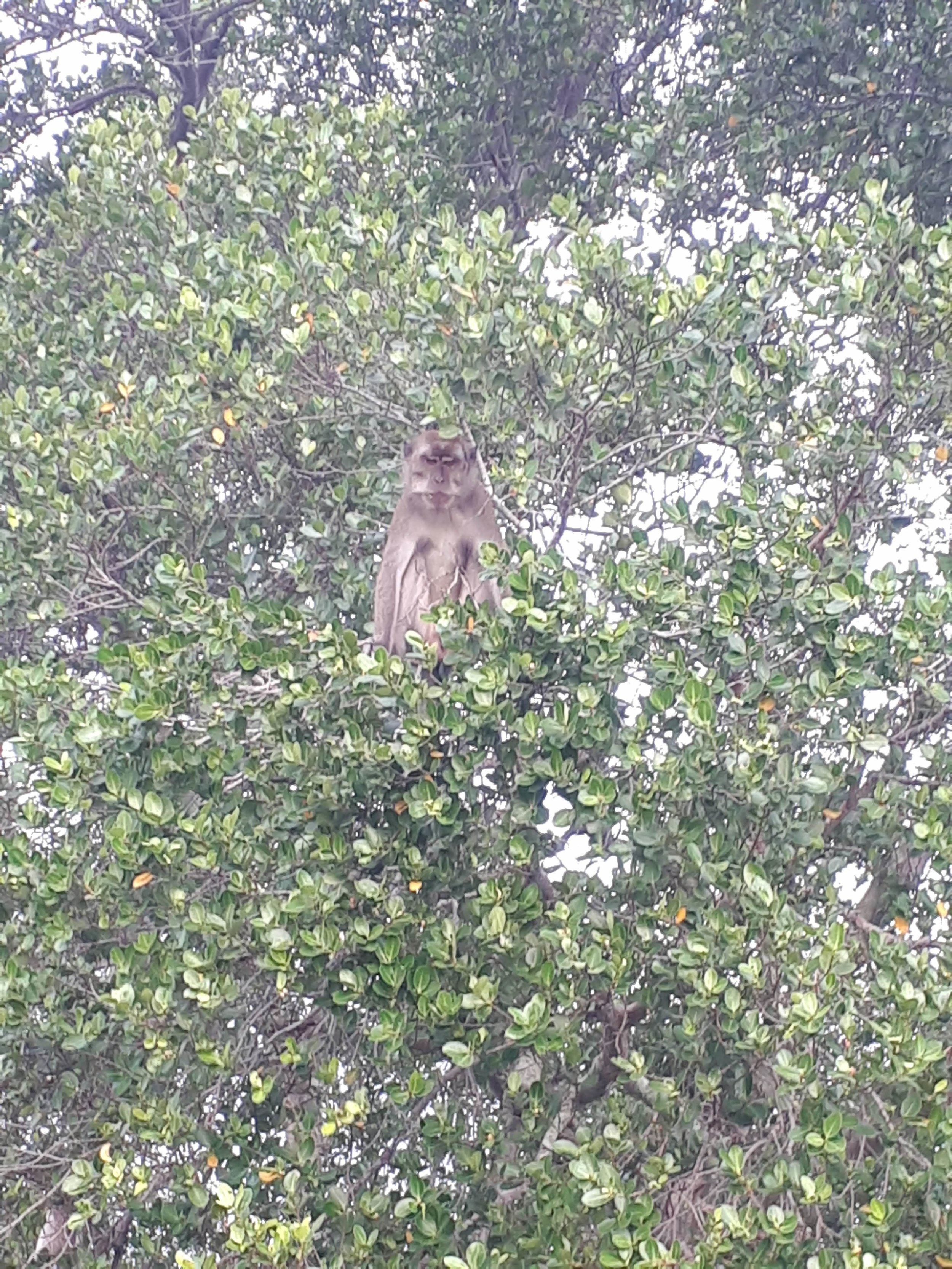Macaque in the mangroves!