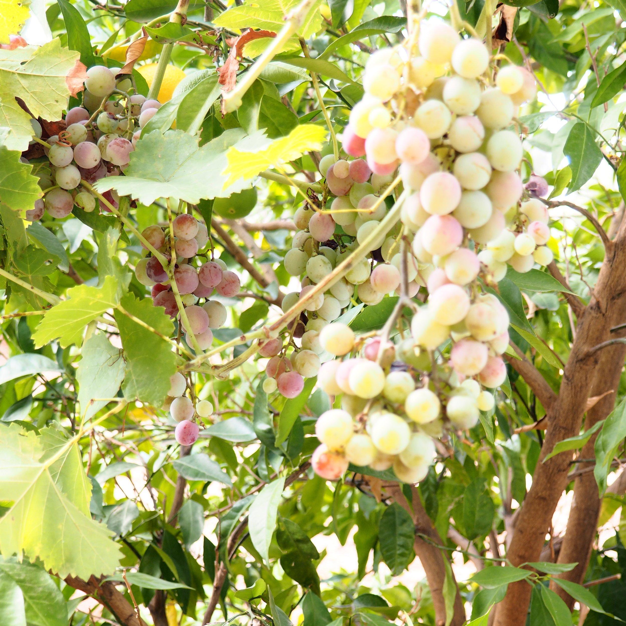 Food Grapes.jpg