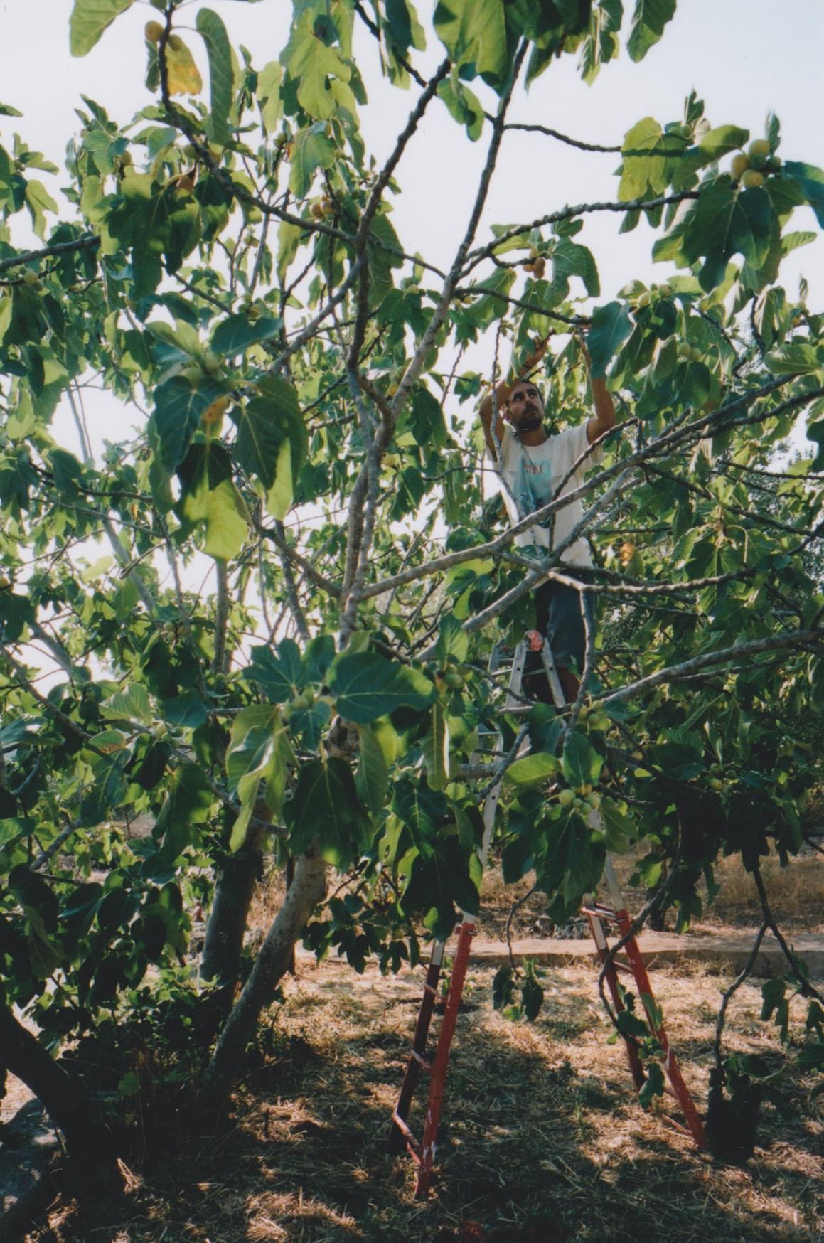 fig picking.jpg