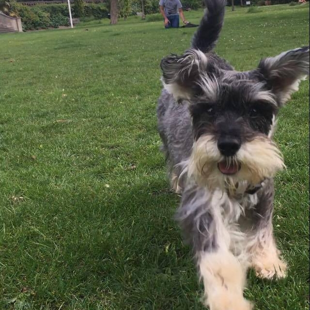 Milo the miniature Schnauzer