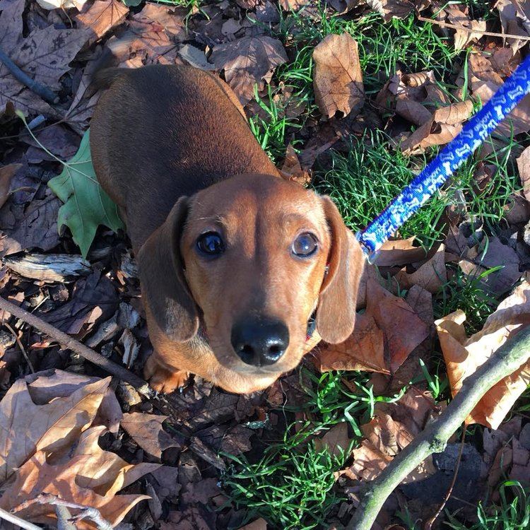 Tank the Dachshund puppy