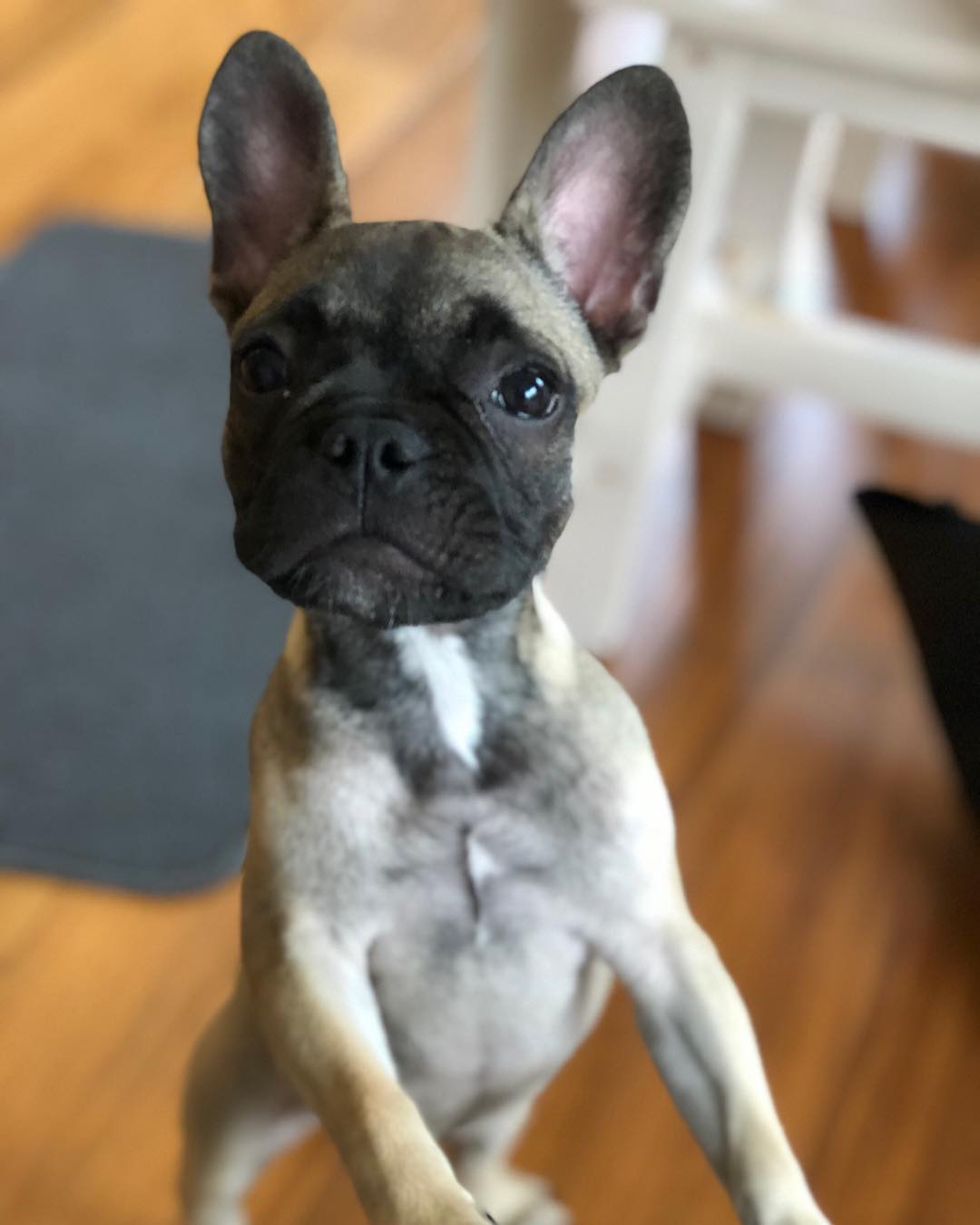 Maple the French Bulldog