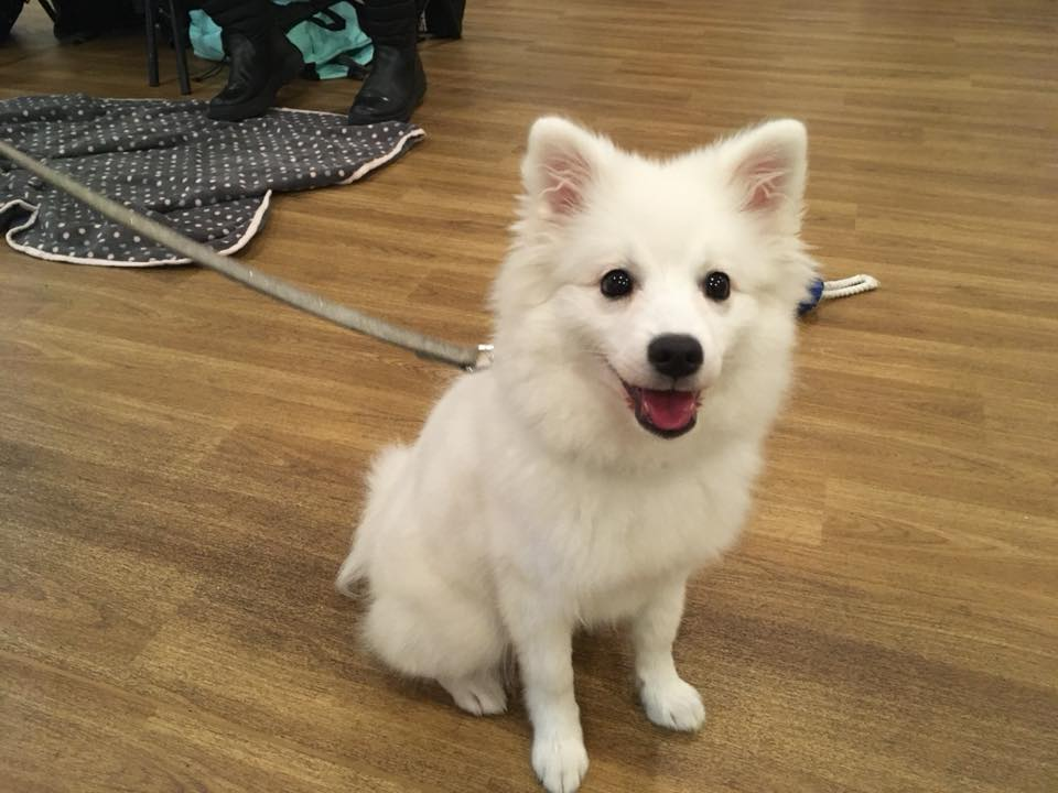Dash the Japanese Spitz