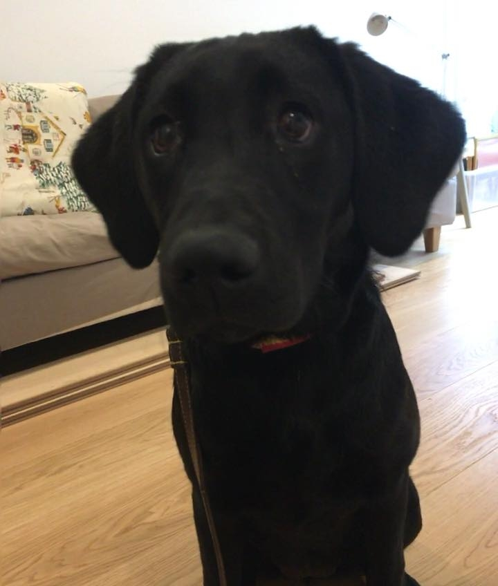 Lola the Black Lab puppy