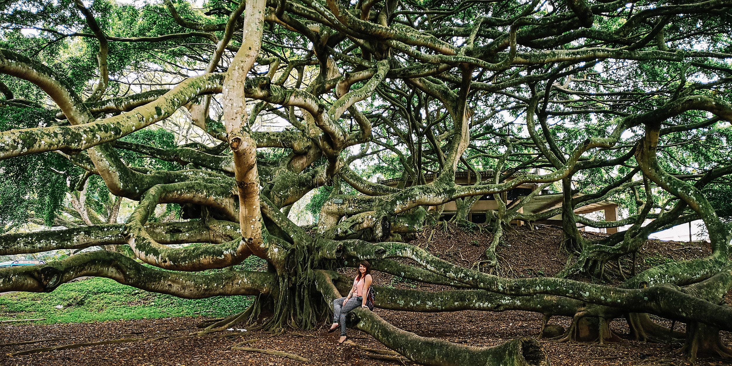 kandy-tree