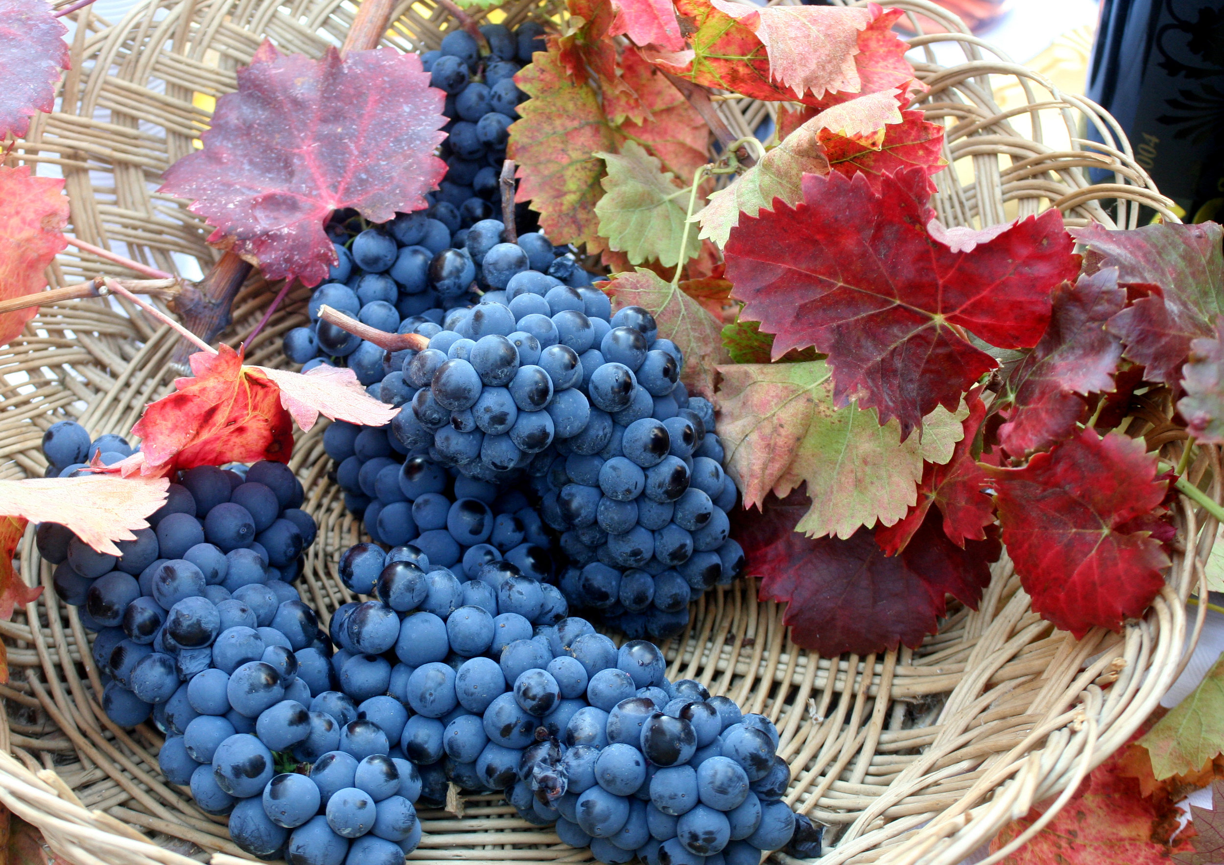 Sagrantino grapes_Umbria_7154.JPG