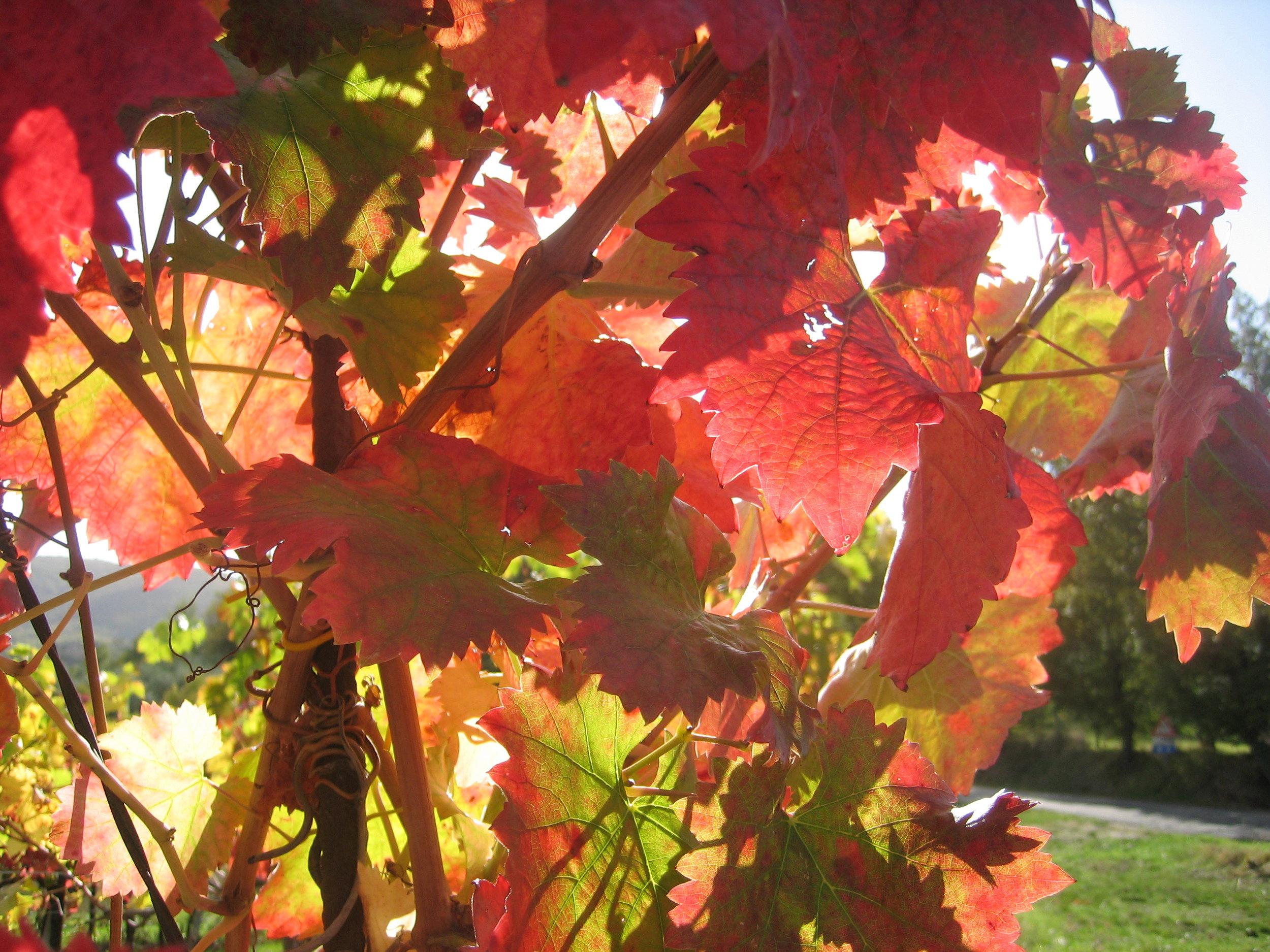 grape leavesUmbria__0026.JPG