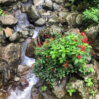 A tropical plant with bright red flowers next to a stream in El Yunque National Forest, Puerto Rico.