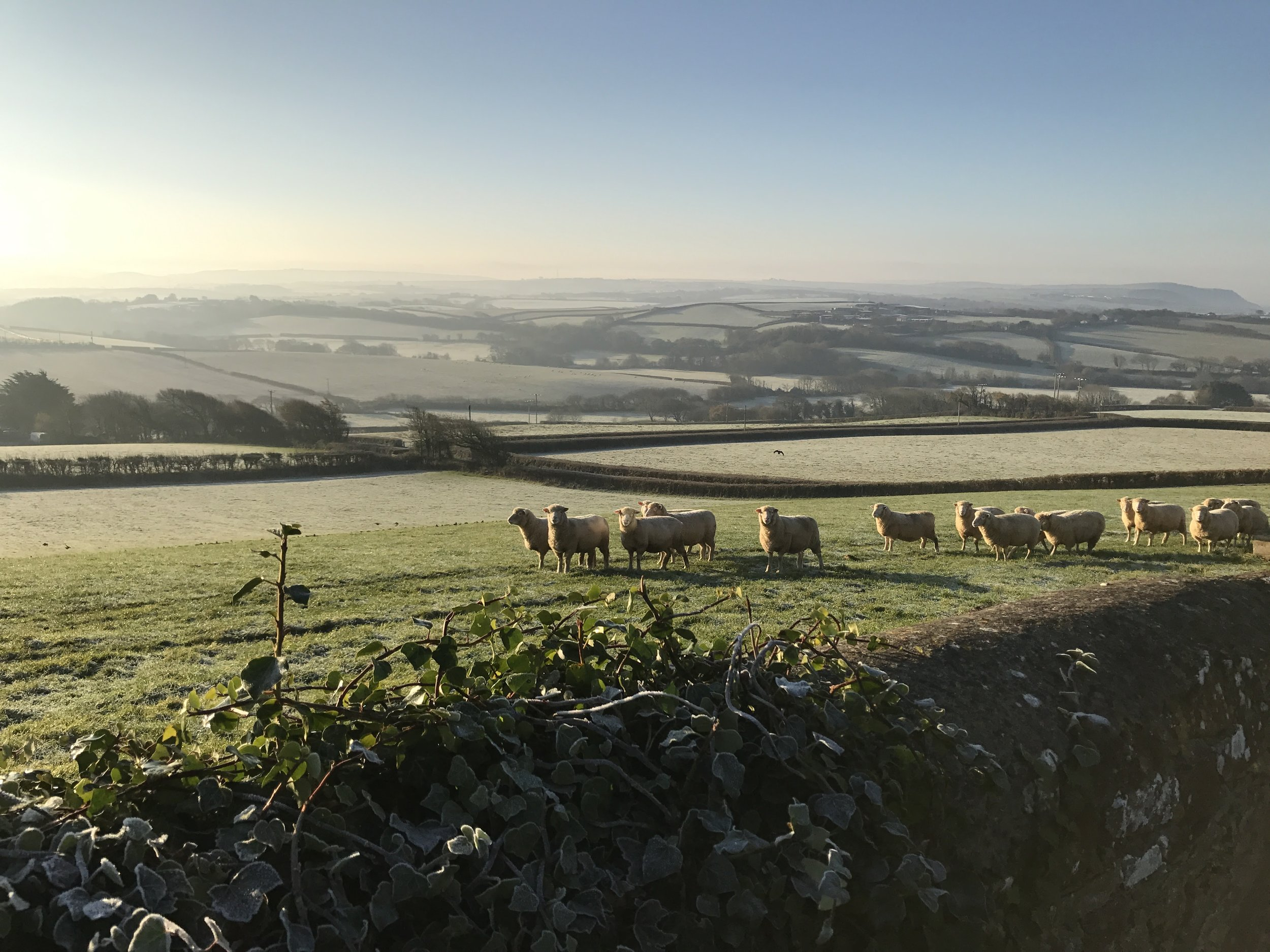 Sheep entering the field beside the Woolbarn, on a cold December morning
