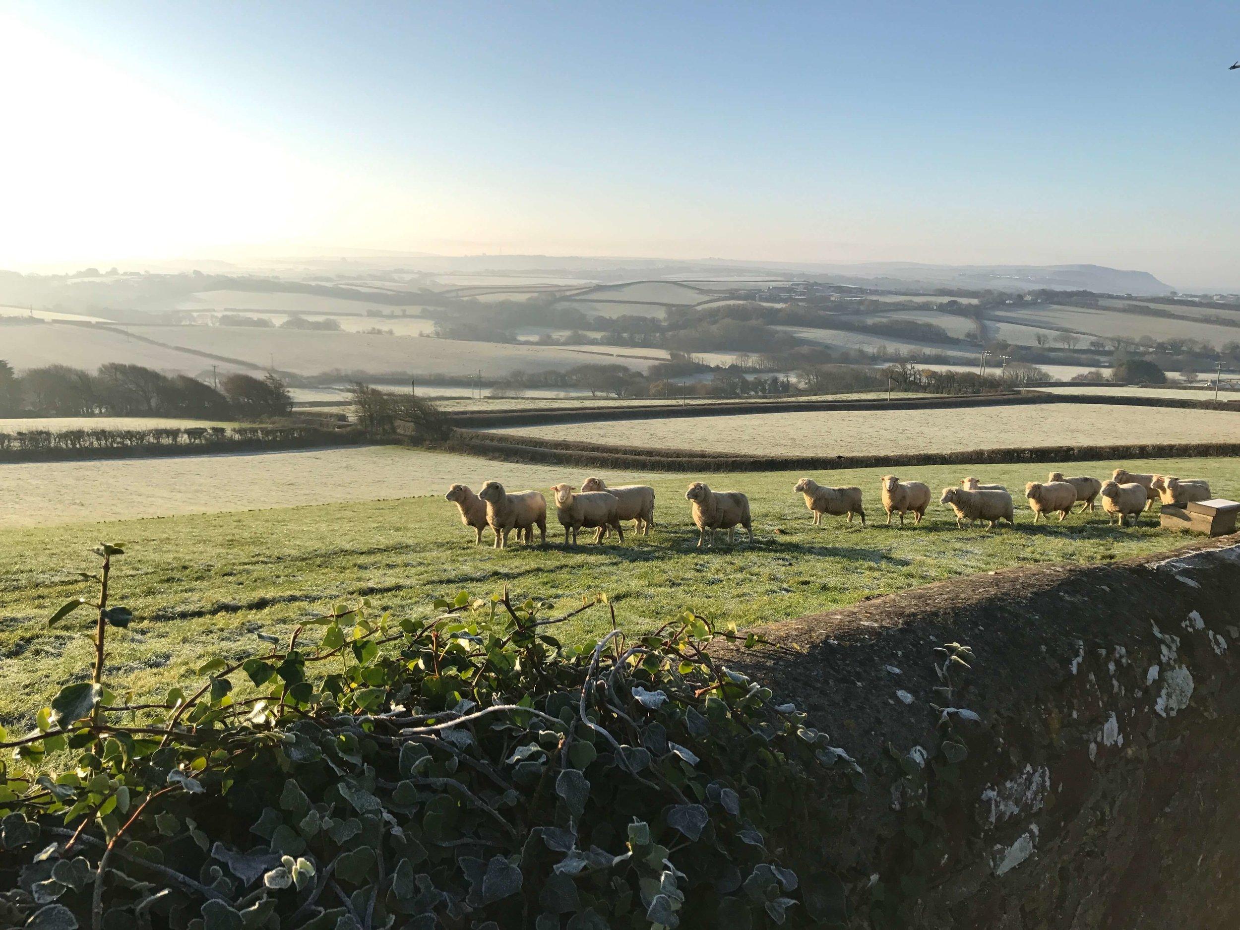 christmas-fields-with-sheep.jpg