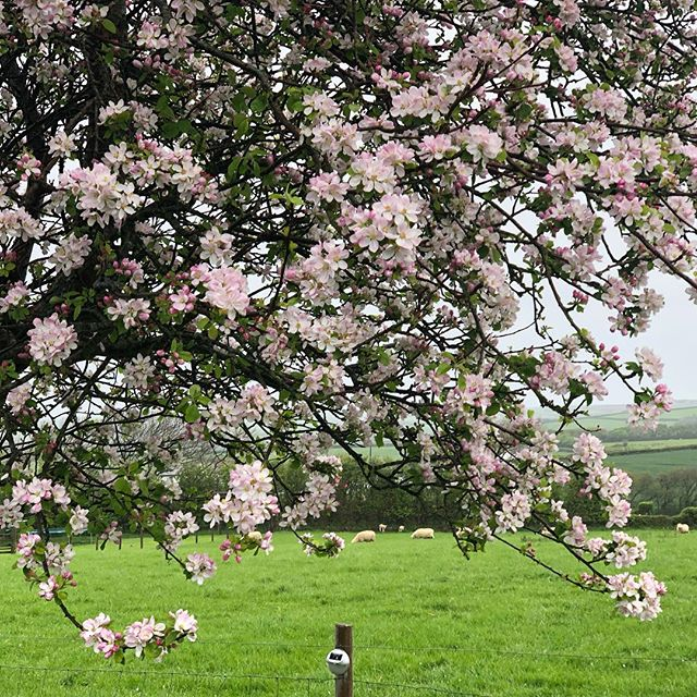 Apple blossom time @wooldown