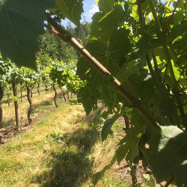 On our second pass through the vineyard suckering and shoot/ flower thinning .... hiding from the sun.  #chardonnay #willamettevalley