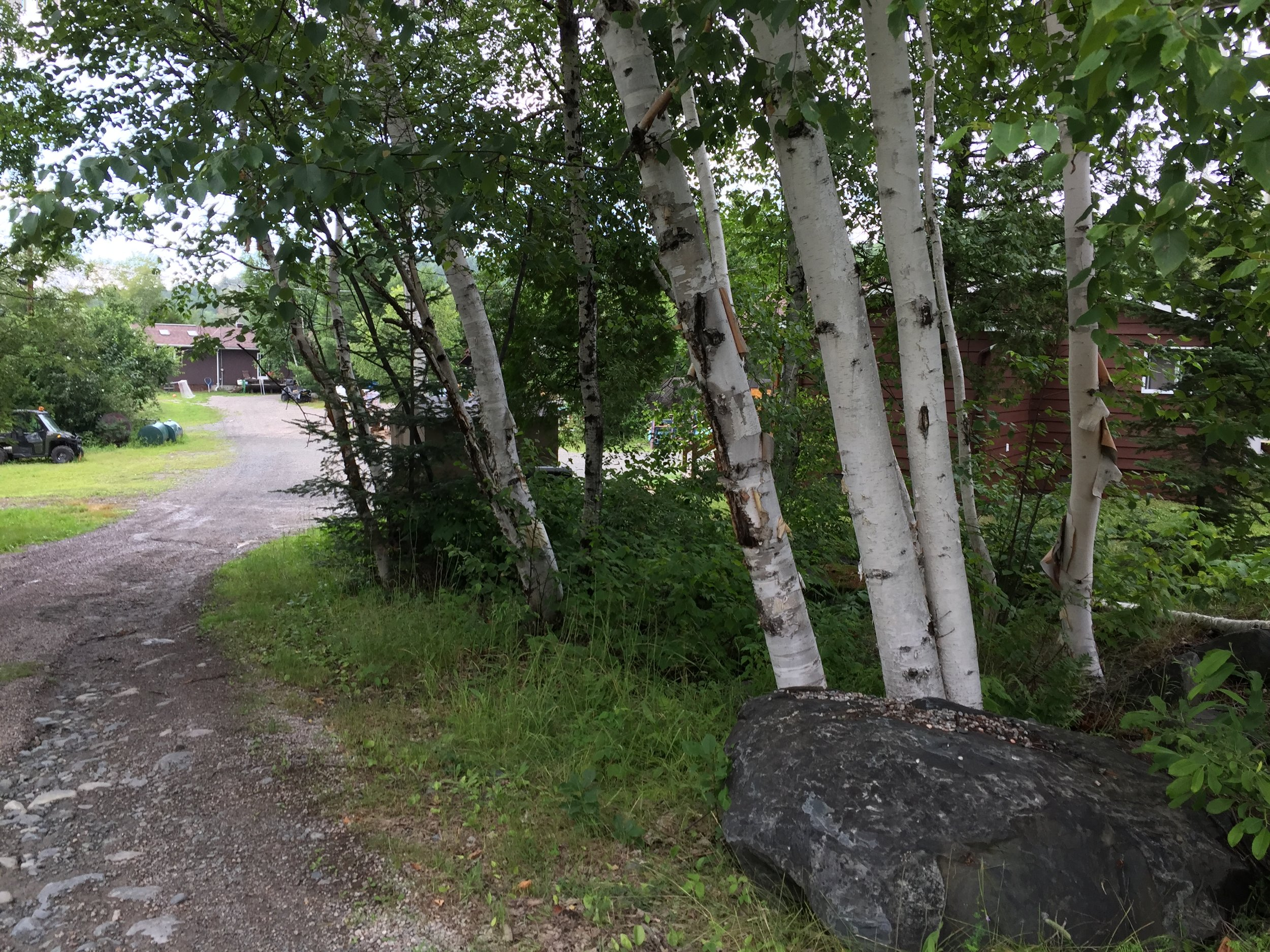 The birch trees on the walk back to Linda's Wigwam