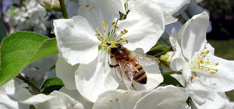apple-blossom-with-bee-2x.jpg