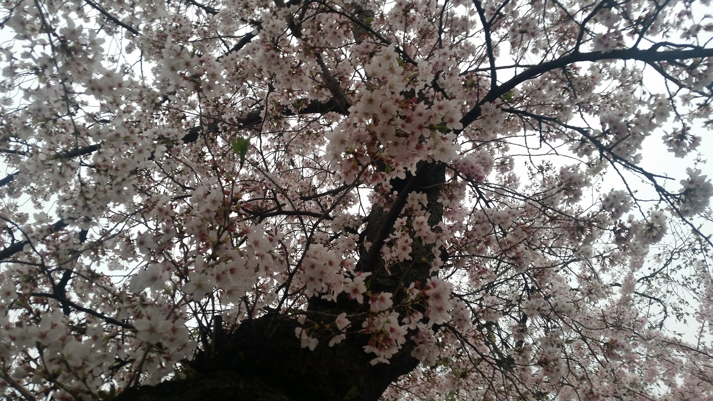 CherryBlossomTreeWashingtonDC