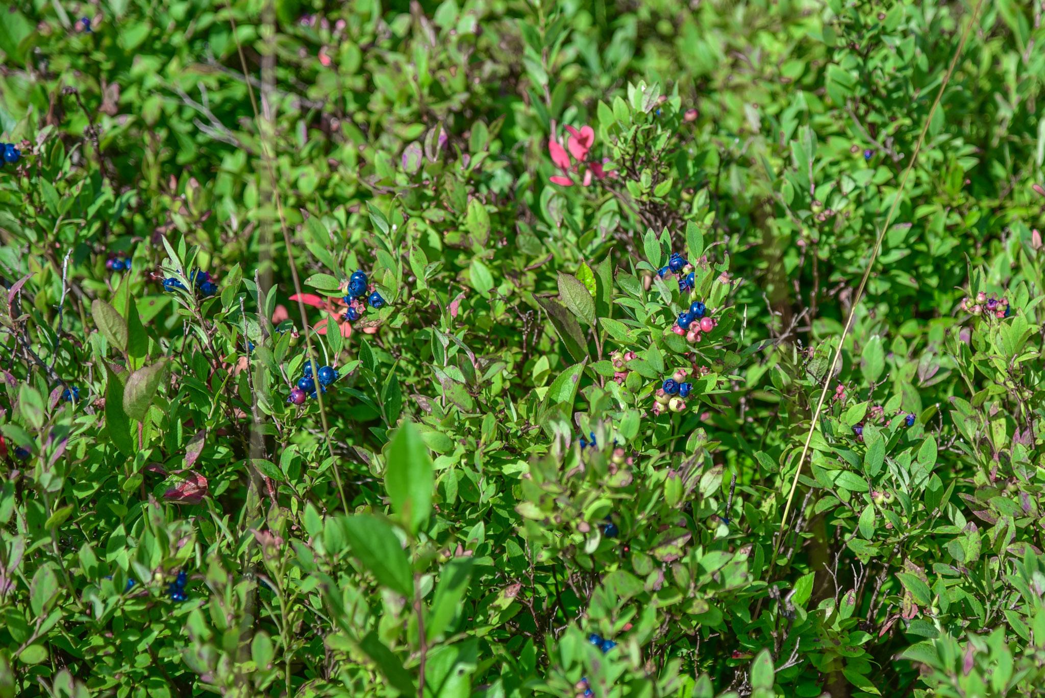 WildBlueberriesDollySods
