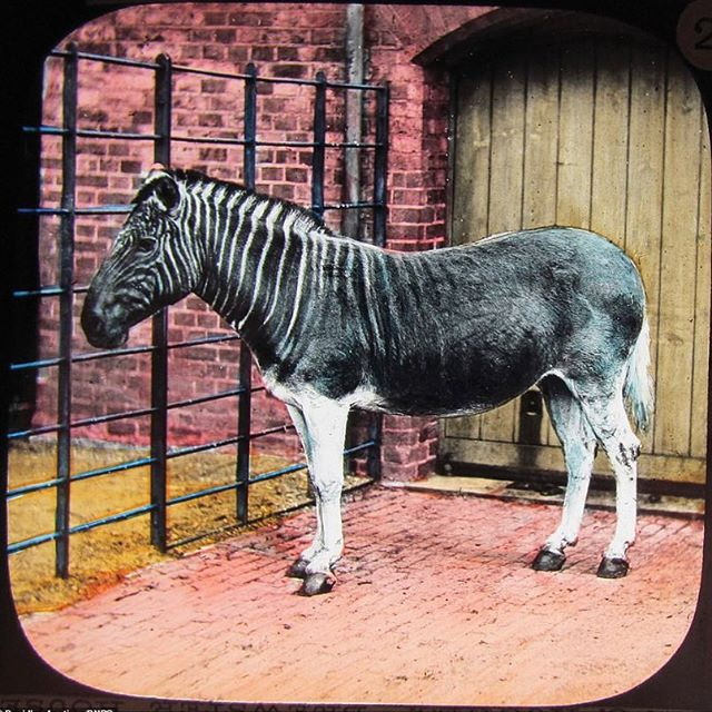 150 year old colored slide of the extinct Quagga from the London Zoo. #cryptozoology #cryptozoologist #quagga #cryptid #londonzoo