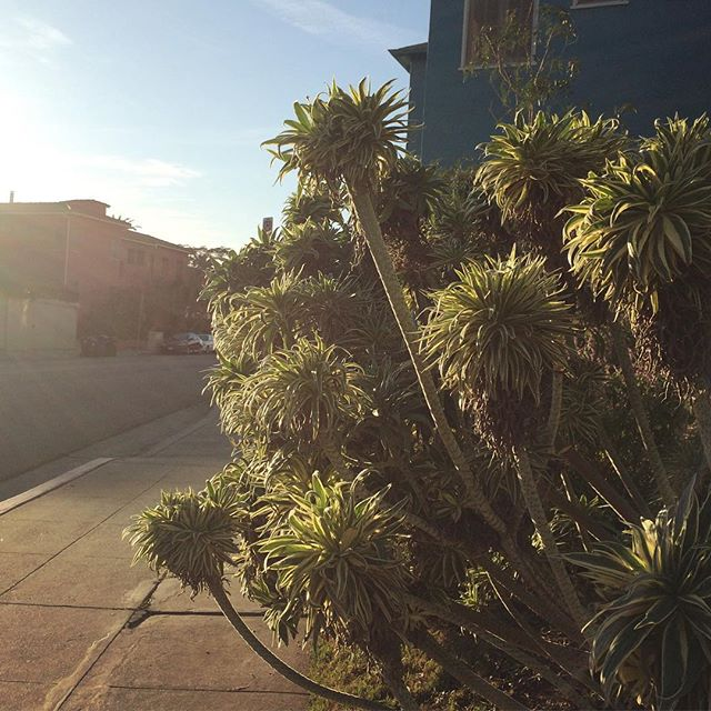 Late afternoon post @lacma visit #losangeles #plants #afternoon #walking