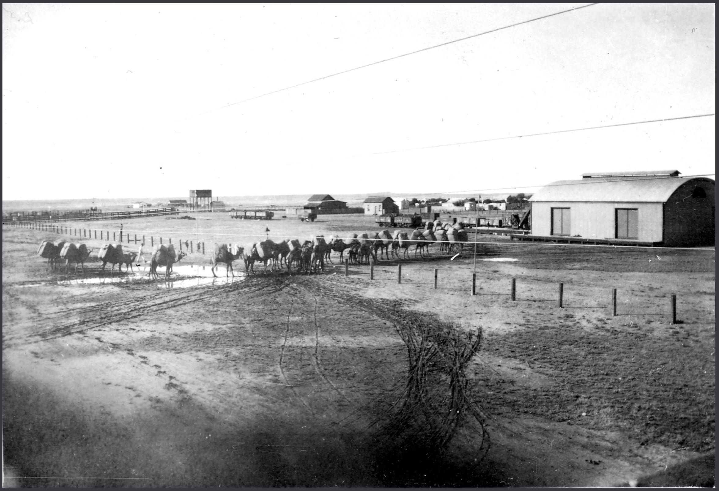 CAMELS BRINGING WOOL INTO MAREE 1920.JPG