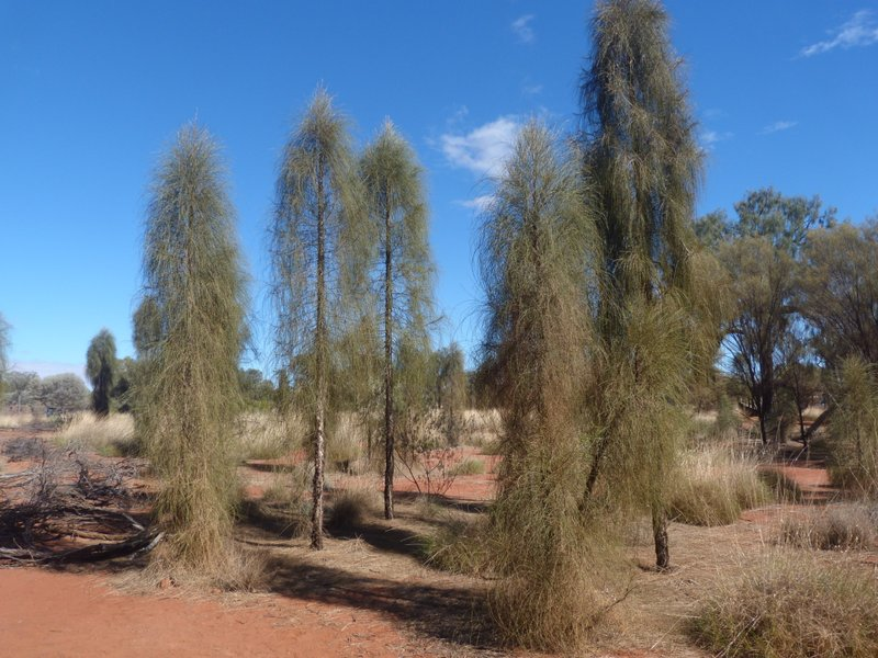 young desert oaks and spinifex scrub