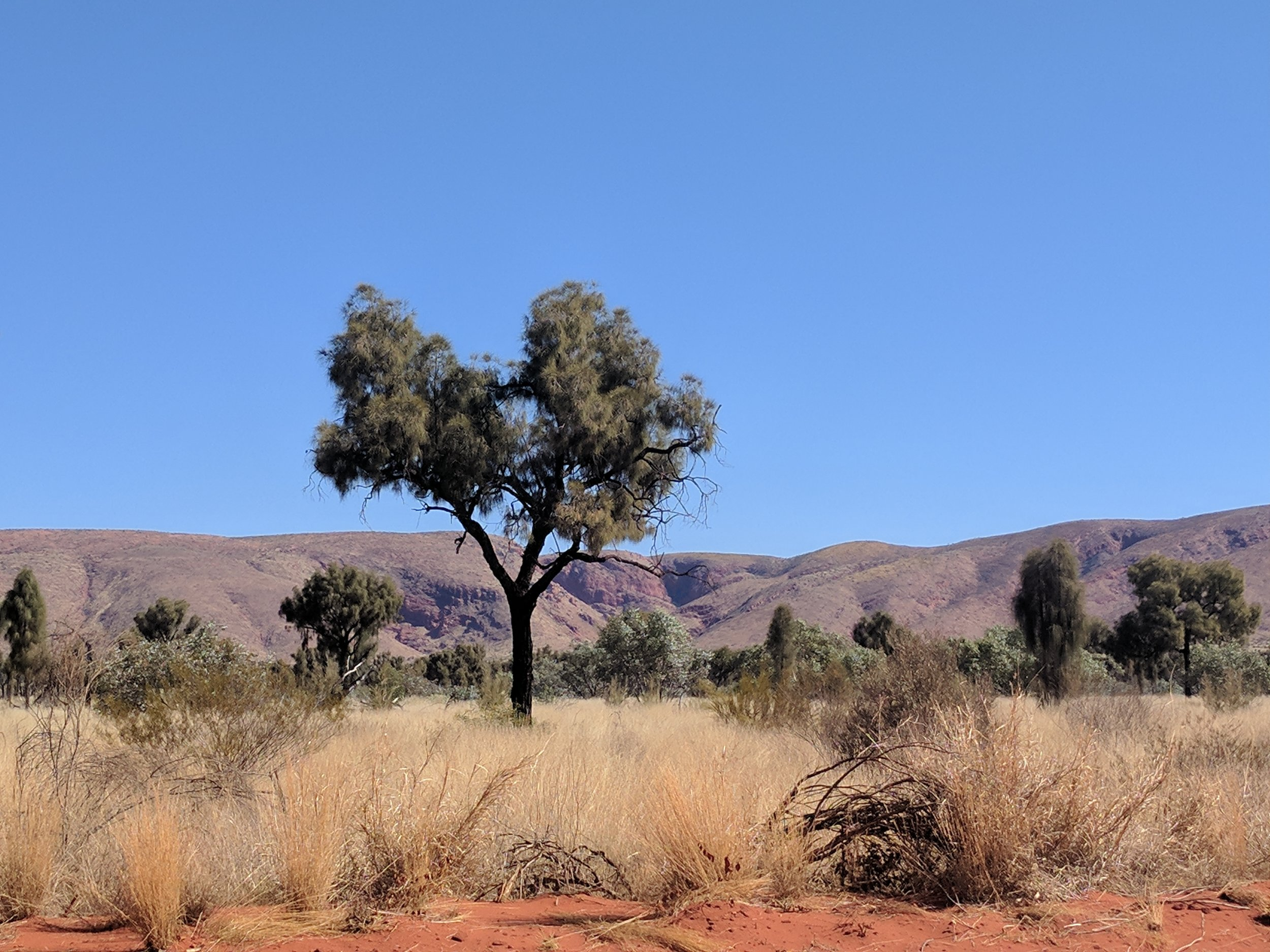 spinifex, desert oak and the petermann ranges