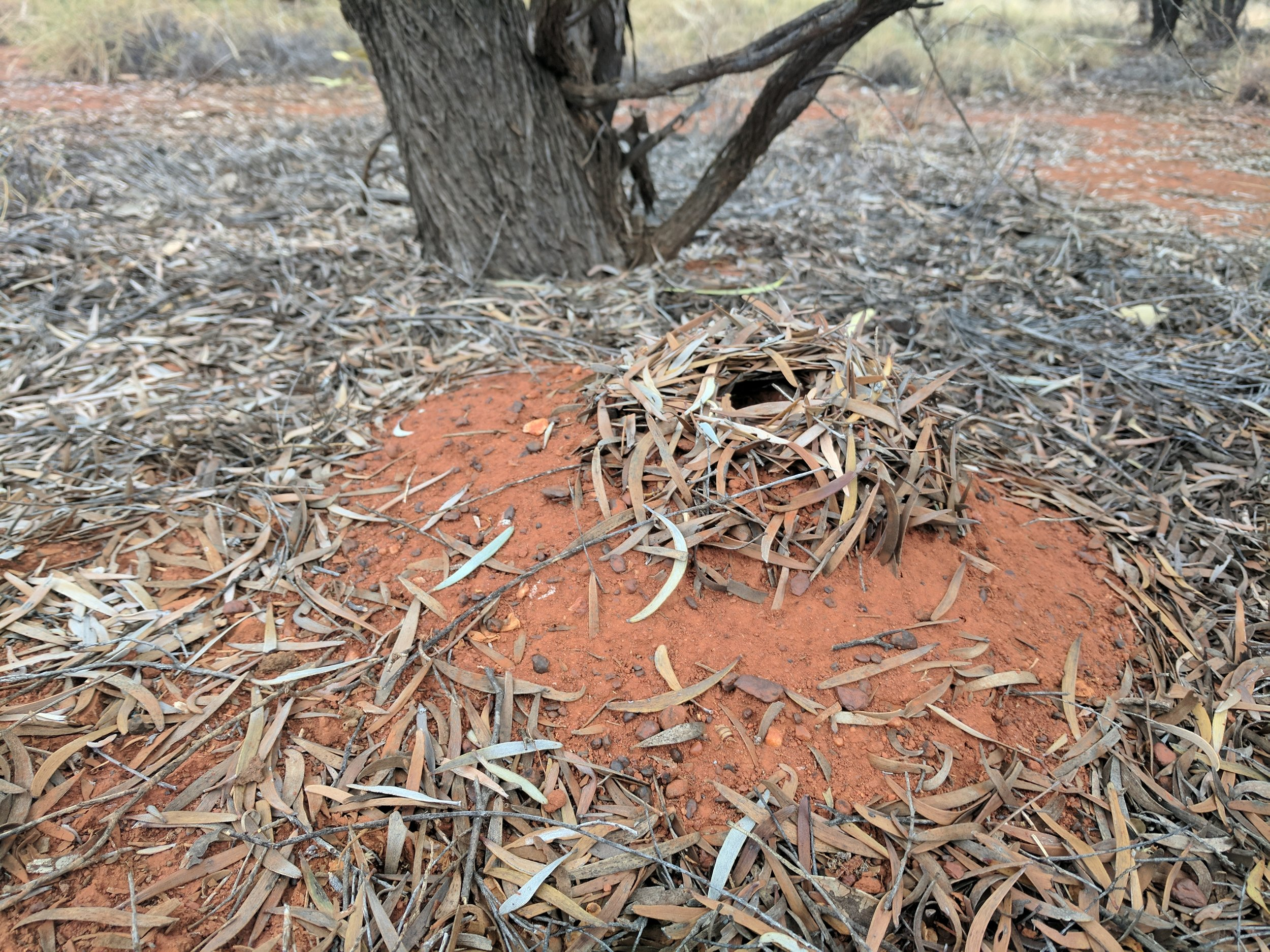 Incredible Ants nest at camp