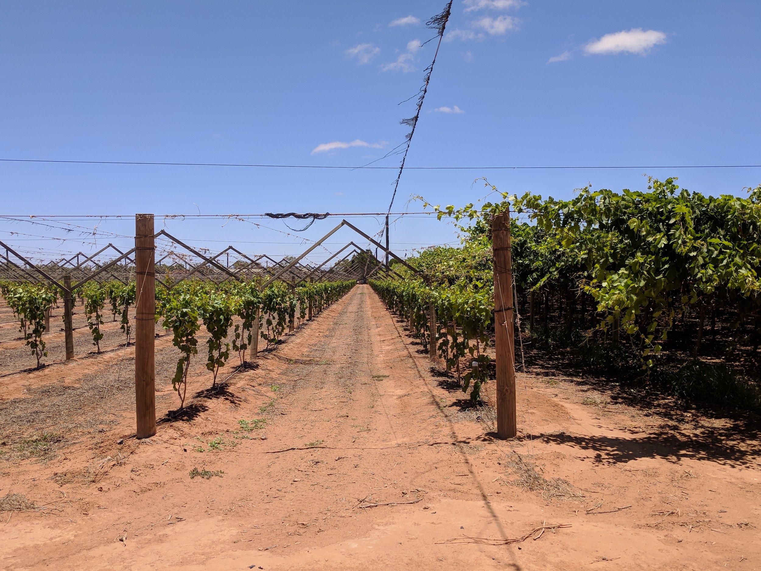 Grape growing trellis structures