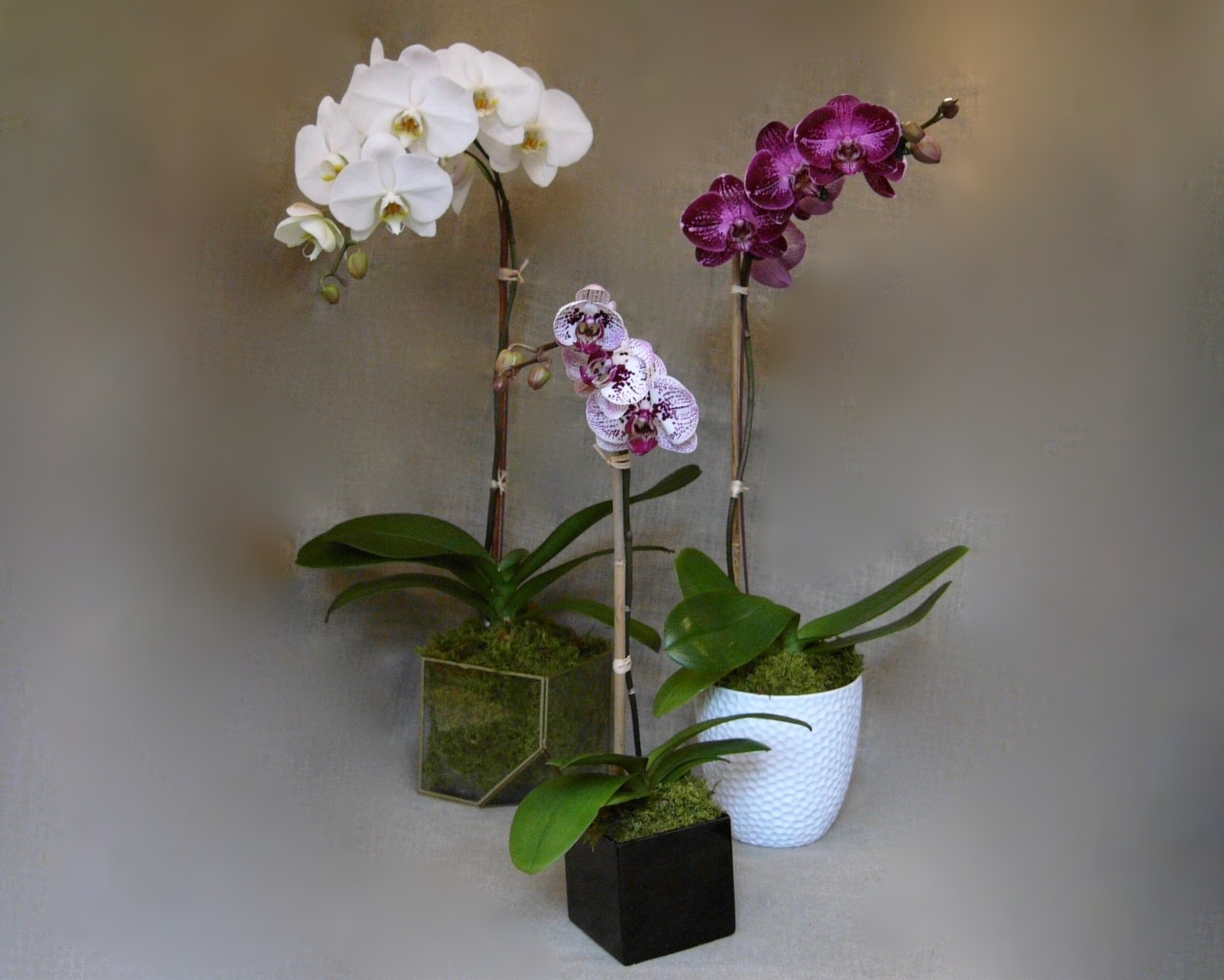 Phalaenopsis orchid plants in decorative containers.jpg