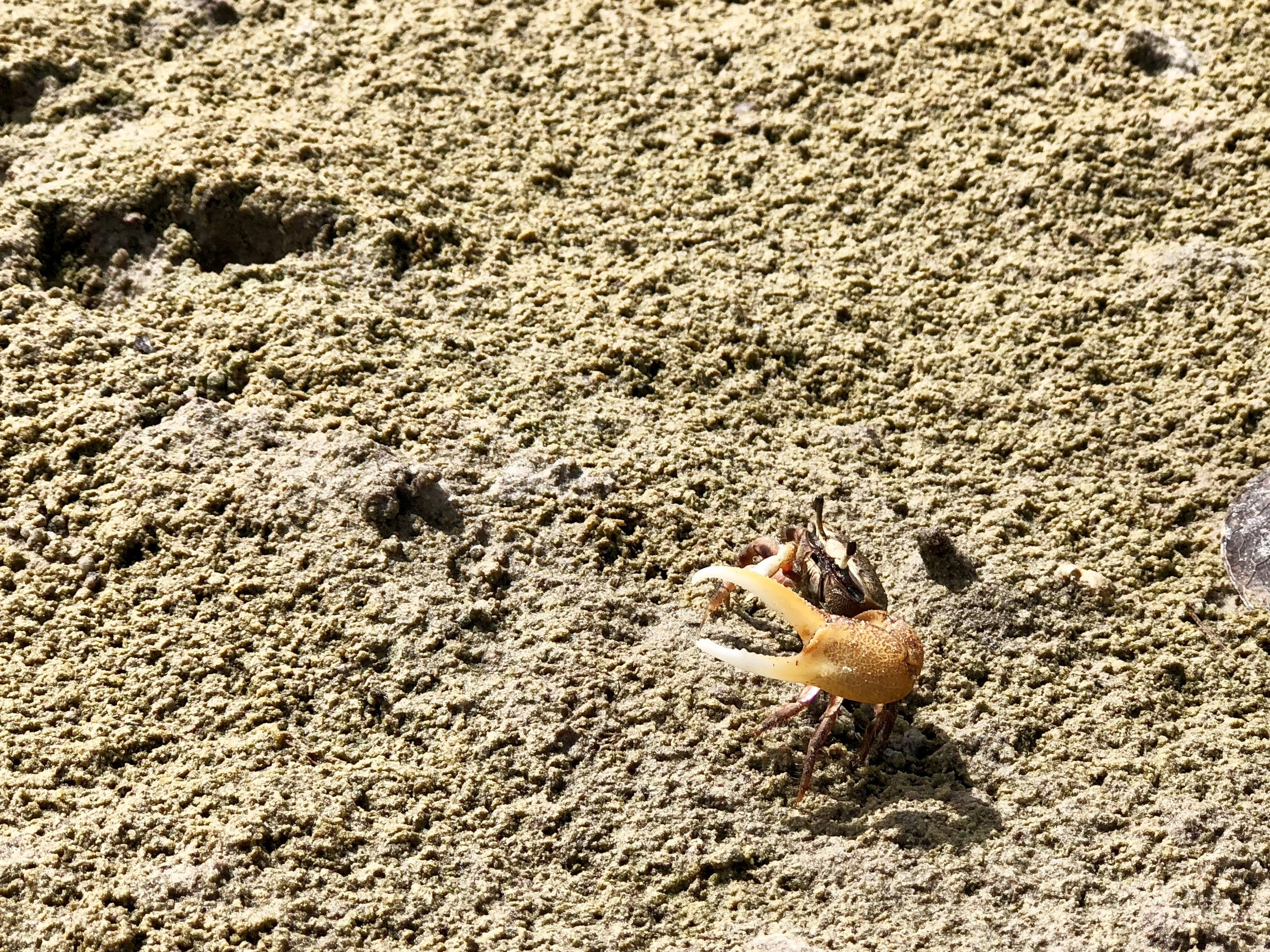 Life - Namesake of the Fiddler Crab Trail